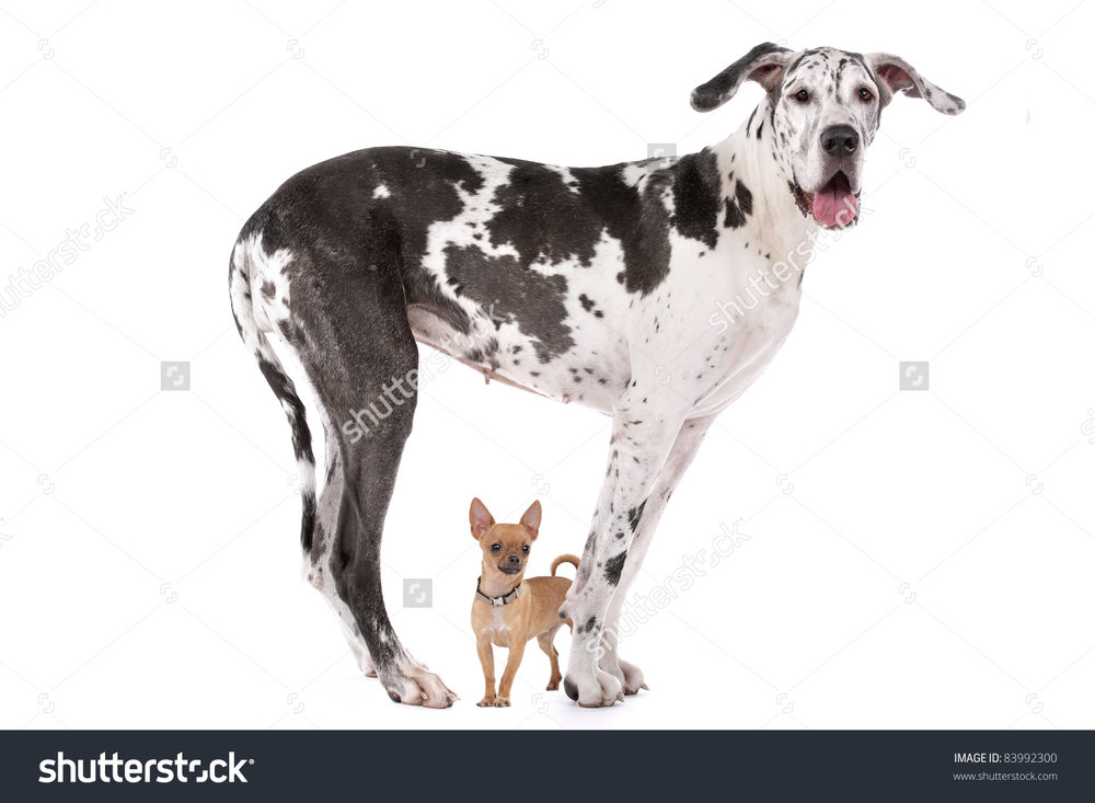 stock-photo-great-dane-harlequin-and-a-chihuahua-in-front-of-a-white-background-83992300 (1).jpg