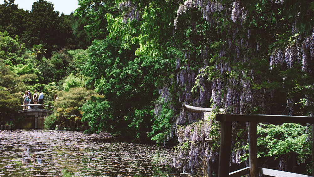 Ryoan-ji. Kyoto. Wind away the afternoon in the wisteria lakes.