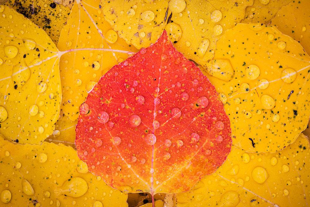 Rainy Aspen Closeup.jpg