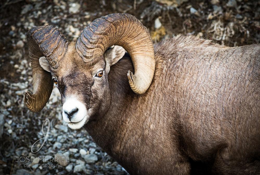 Banff Big Horn_FB.jpg
