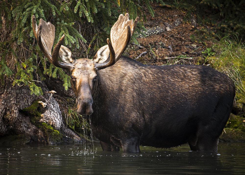 Moose Lake Moose 2_5x7.jpg