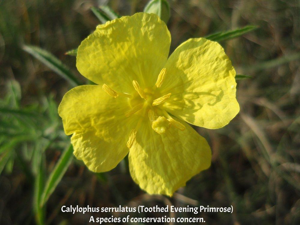 Calylophus serrulatus-TAPR 4.JPG