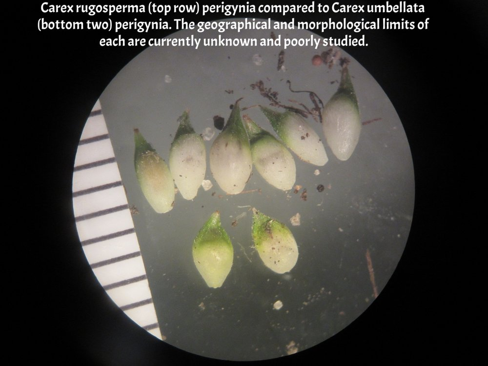 Carex rugosperma top vs umbellata bottom.JPG
