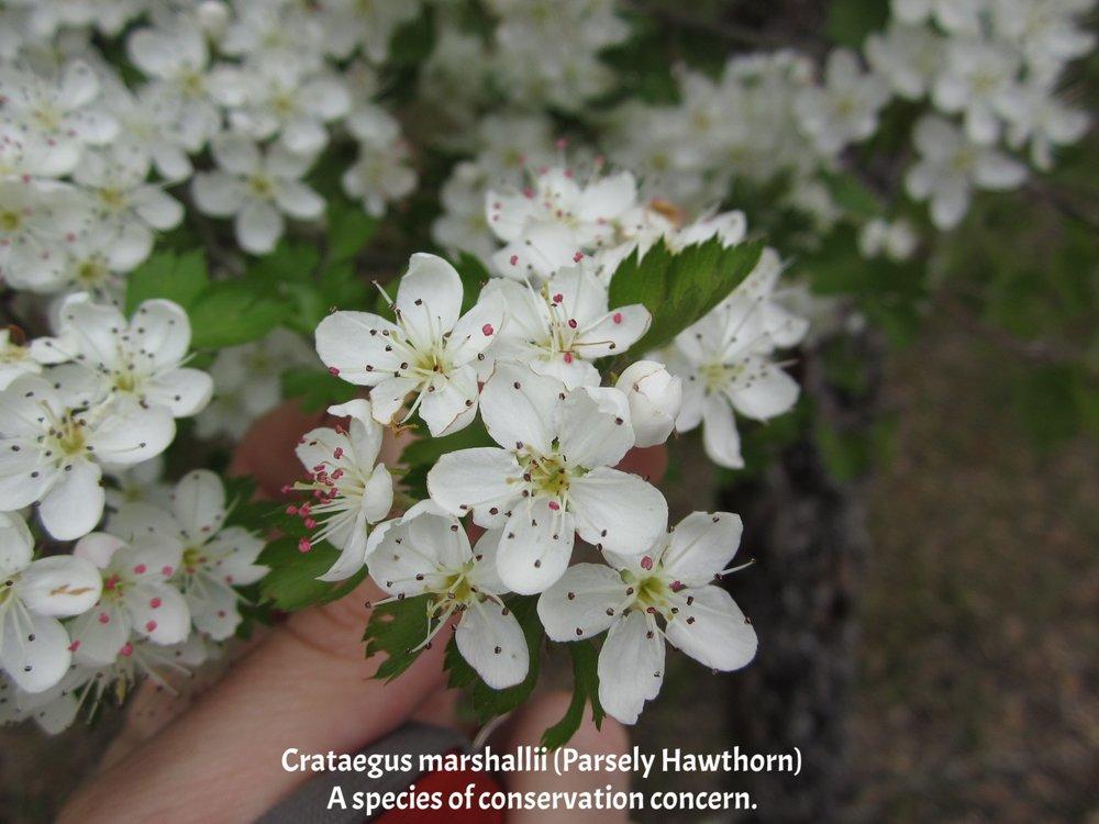 Crataegus marshallii Big Cane Creek CA 02.JPG