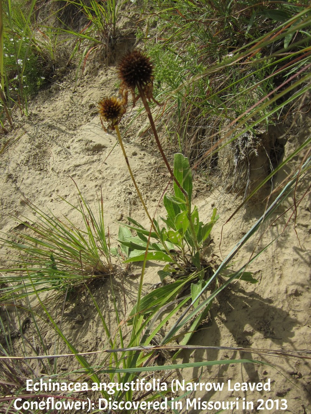 Echinacea angustifolia Star School 1.JPG