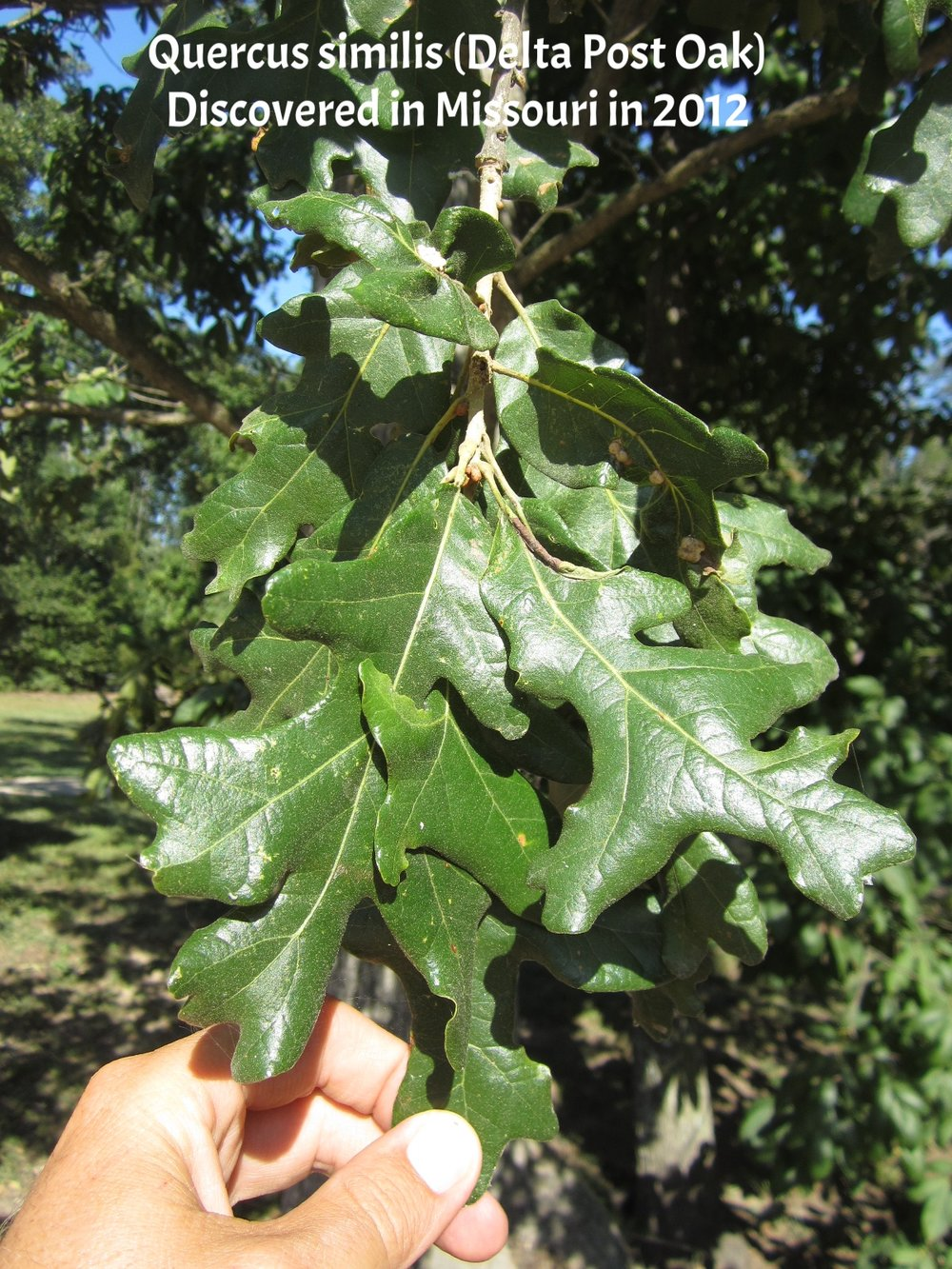 Quercus similis 25.JPG