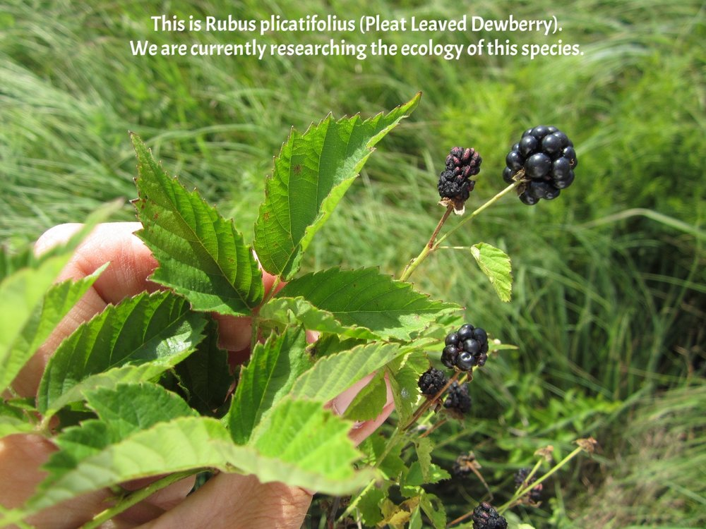 Rubus plicatifolius SW MO 5.JPG