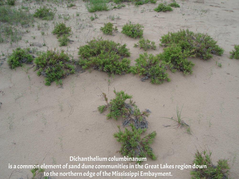 Dichanthelium columbianum Sand Prairie CA 2009 3.JPG