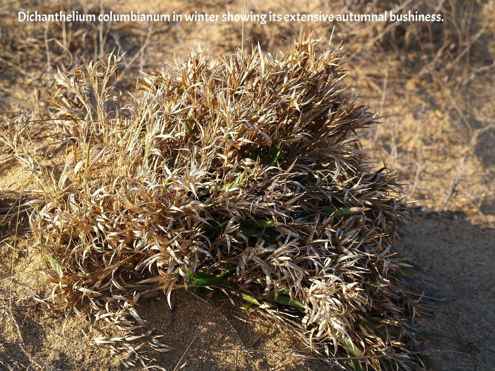 Dichanthelium columbianum Sand Prairie Preserve.JPG