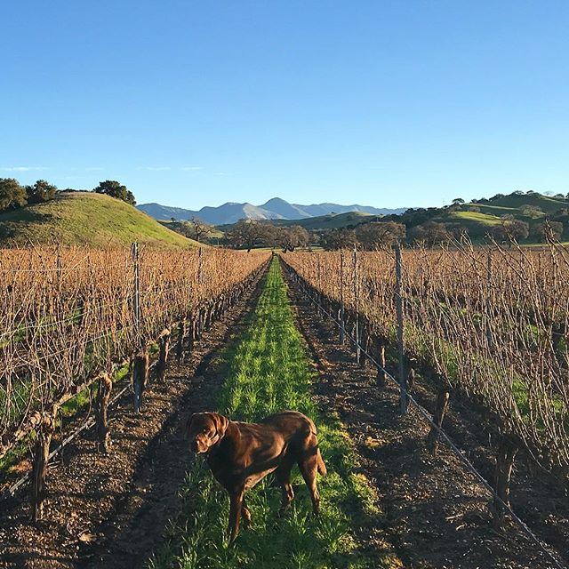 Most vineyards utilize a flock of sheep to keep their cover crop under control. We use 120lb chocolate labs named Hank.