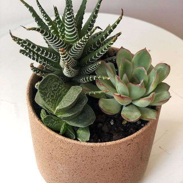 G I F T I N G 🌱🌱🌱🎄 We got you covered. Indoor Plant, pot, stand or hanger. You can order the whole lot and we will deliver it to you, up to  til Christmas Eve all over Melbourne. Not sure what to order? Email us and we will help you decide what is best. Pictured-  1. succulent small gift (custom teachers gift) 2.@elkandhorn trainer hanger 3. @milksugarmelb pot stands 4. Teachers small gift with peperomia  5. Gold pot with Rhipsalis  So many choices!! 🌿🌱🌿🌱 . . . . . . #plantlover #plants #plantstagram #planthoarder #iloveplants #indoorjungle #homedecor #plantlife #pausewithplants #melbournegifts #interiorinspo #melbourneplants #melbourneplantclub  #buddingvineco #plantstyling #instaplants #houseplants #plantgang #botanical #indoorgreen #homestyle #interiorstyling #greenyourfeed