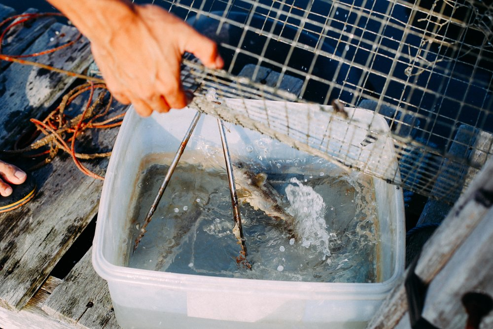 The daily catch, which can include anything from the common orange spotted grouper and croaker, to stingray and sea cucumbers, is then transferred to one of the farm's pens, where they are fed until they grow to size.