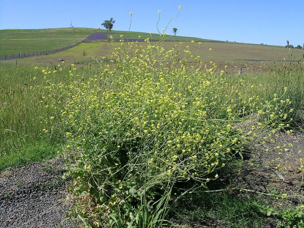 Shortpod Mustard Hirschfeldia incana