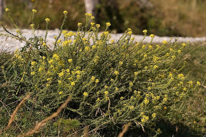 Oriental mustard Sisymbrium orientale