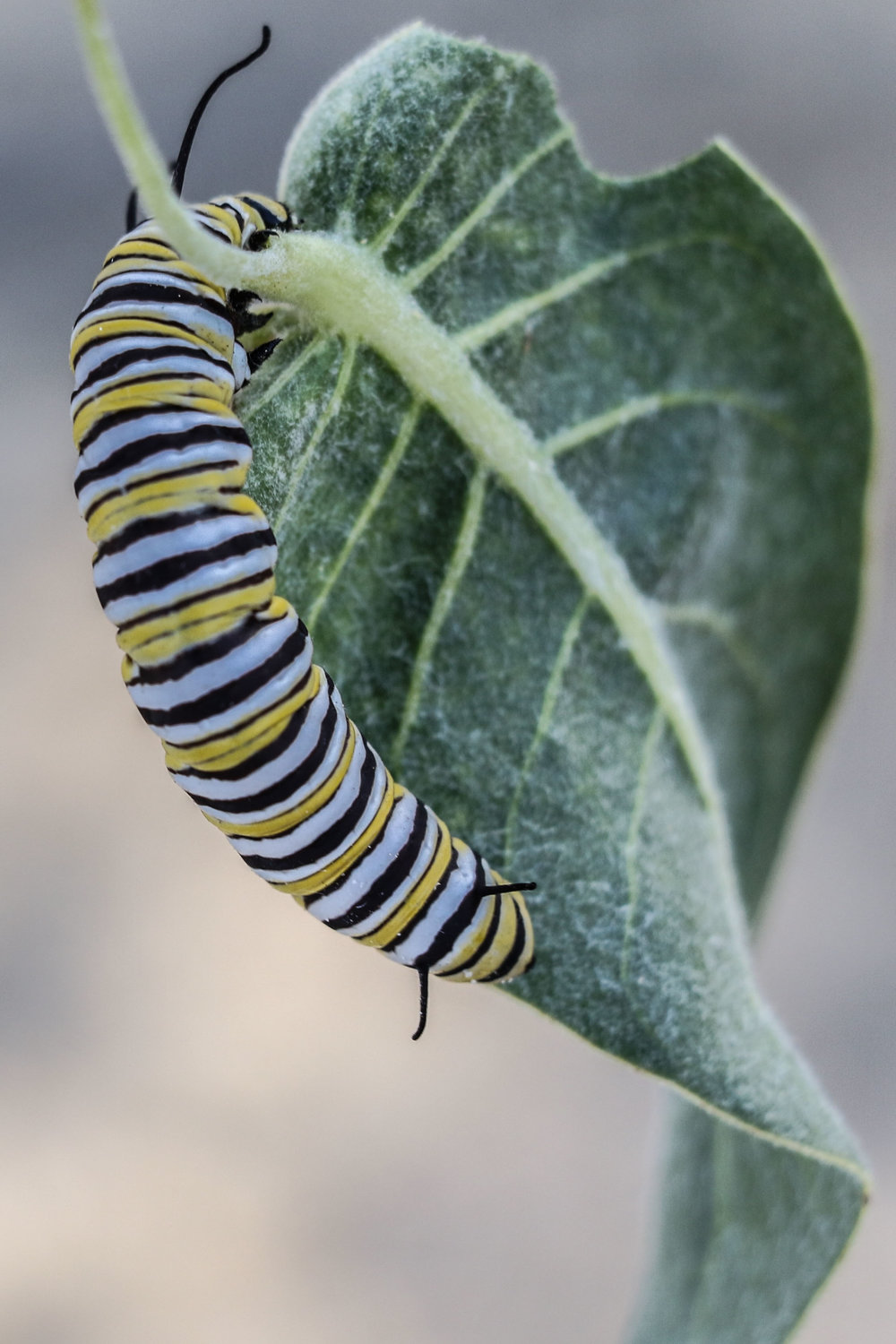 Caterpillar on the leaf of Asclepias vestita, Woolly Milkweed.