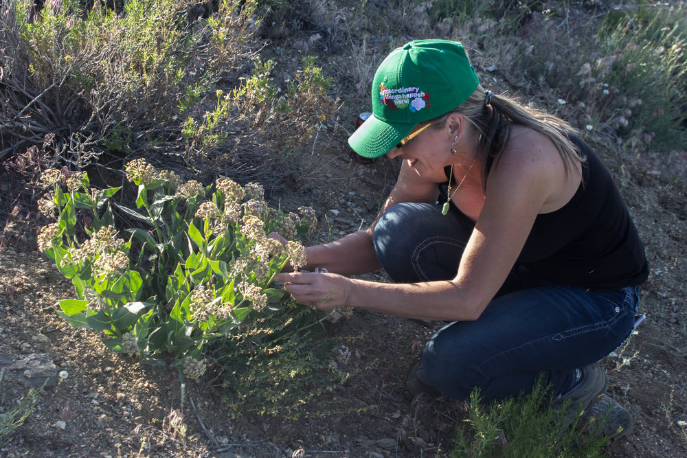 Gina Charpentier examines a milkweed for Monarch Butterfly eggs.