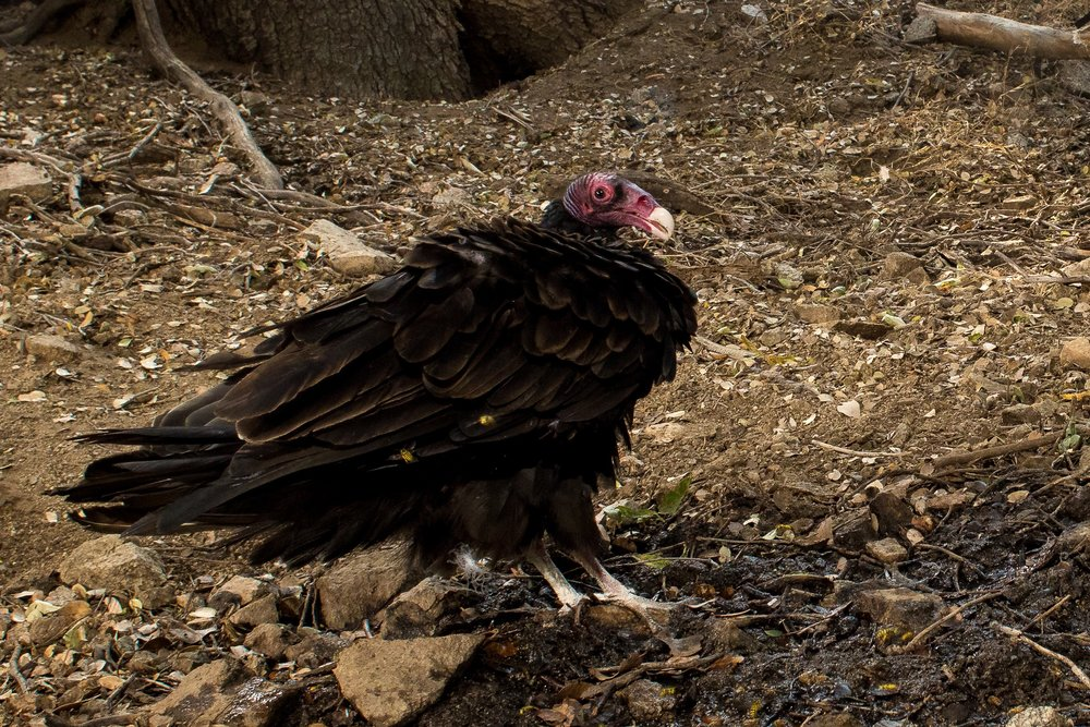 This turkey vulture was captured on camera at one of our springs in the Lancaster, Portal Ridge area. Photo courtesy of Roy Dunn.