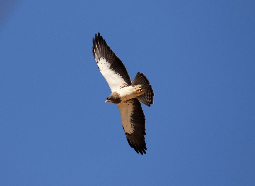 Swainson's Hawks are commonly spotted with Turkey Vultures. Notice the light leading edge on the wings. Turkey Vultures have a dark leading edge. Photo courtesy of Wikimedia Commons.