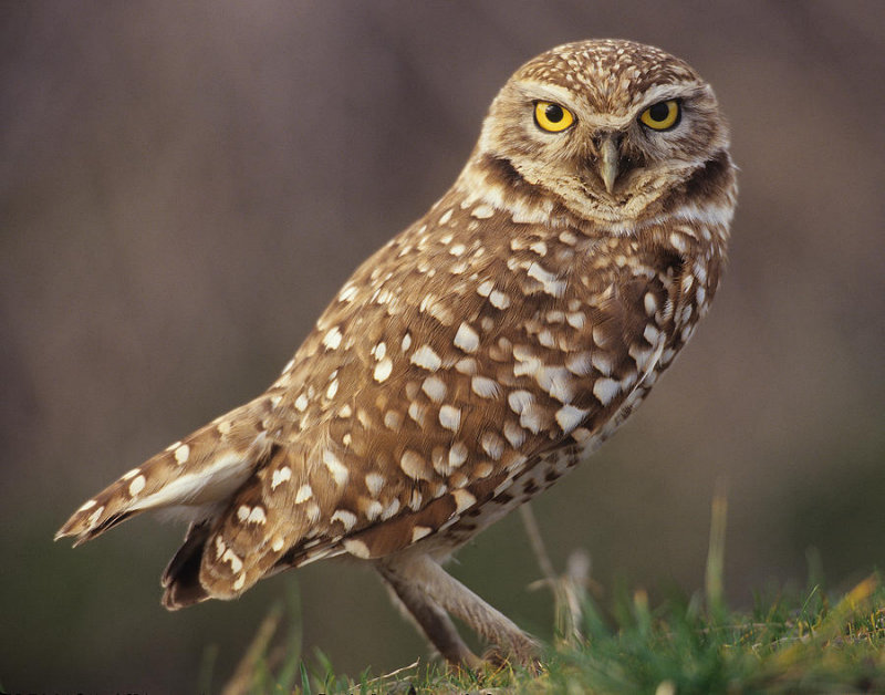 Burrowing Owl in Portal Ridge