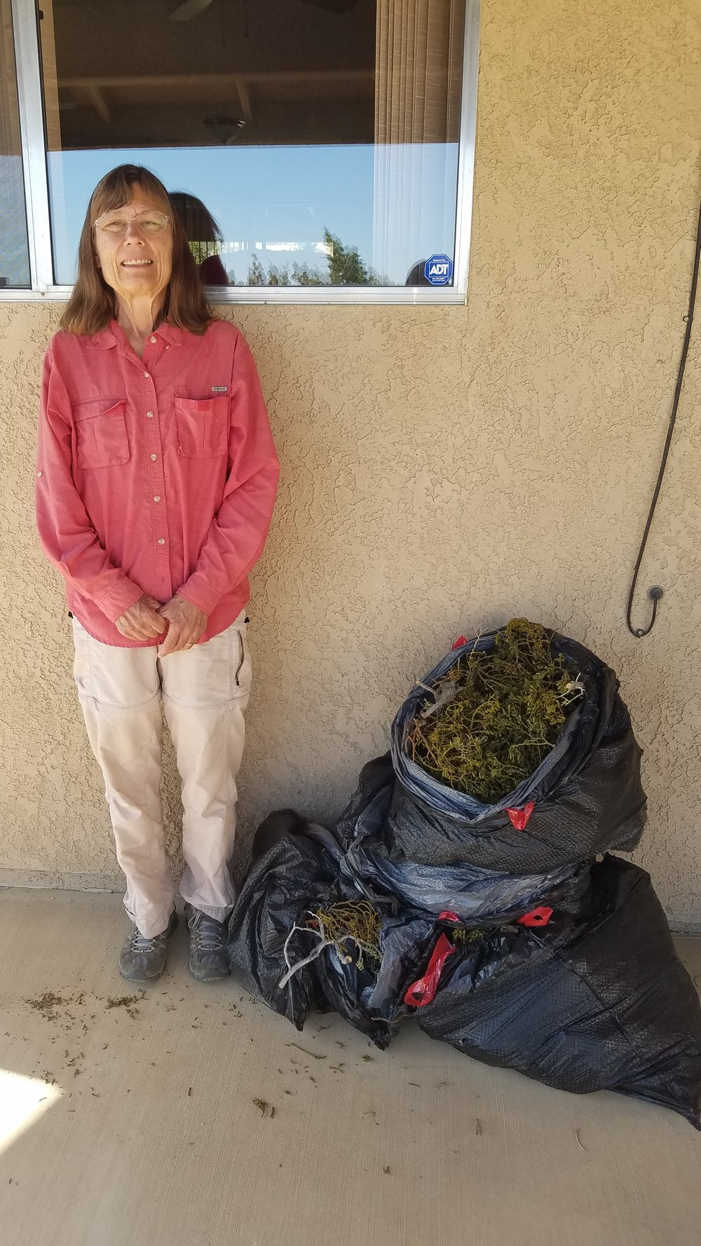 Volunteer Kate Allen, works once or twice a week in the Puma Canyon Ecological Reserve to trim back mistletoe from drought stressed junipers.