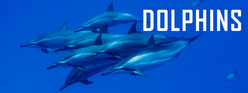HDT_SlideshowTemplate_DOLPHINS.png