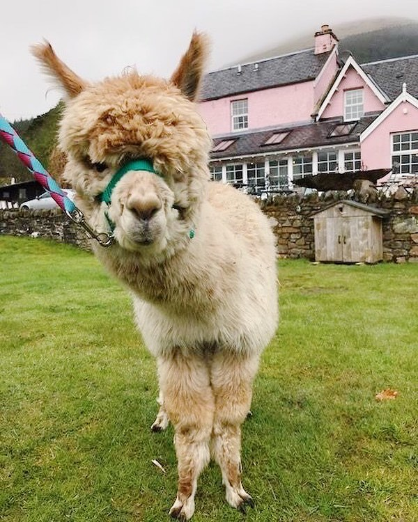 If you are going to @mhorfest be sure to download the app or pick up a printed programme to see the full range of activities on offer. THERE ARE GOING TO BE ALPACAS. Who doesn't love an alpaca?! 😍 @themhorcollection
