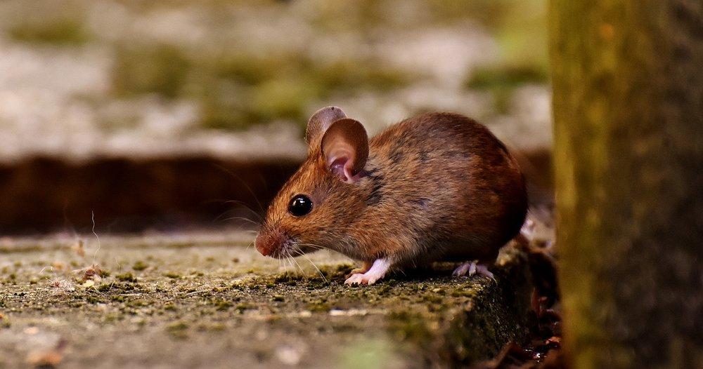 wood-mouse-3082922_1280.jpg