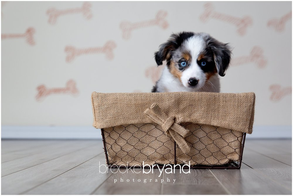 07.2014-Swangler-Puppy-photoshoot-BBP_3222_San-Francisco-Family-Photos-Brooke-Bryand-Photography.jpg
