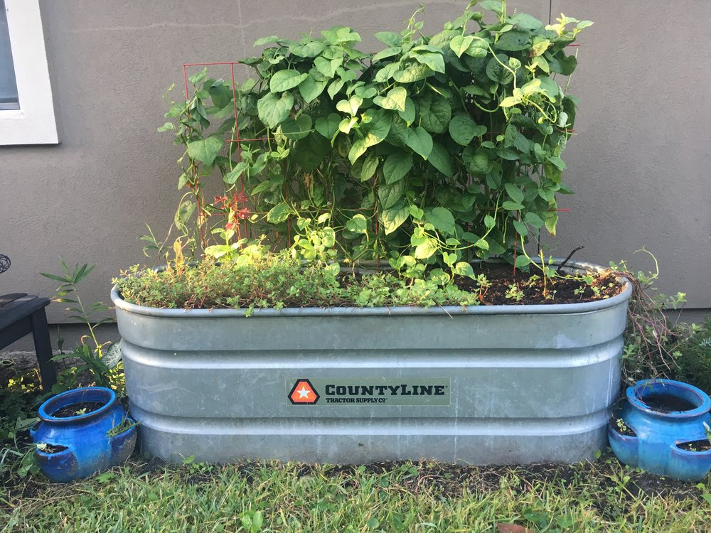 Everything in this vintage farm tub is super easy to grow: Climbing Malabar Spinach, edible succulents, Ginger & Tumeric. There's even my favorite red hibiscus tucked into the back left…the most nutritious (and delicious) herbal tea of all!