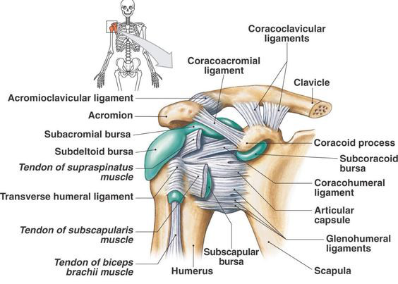 The gleno-humeral joint is rich with structures in a relatively small space