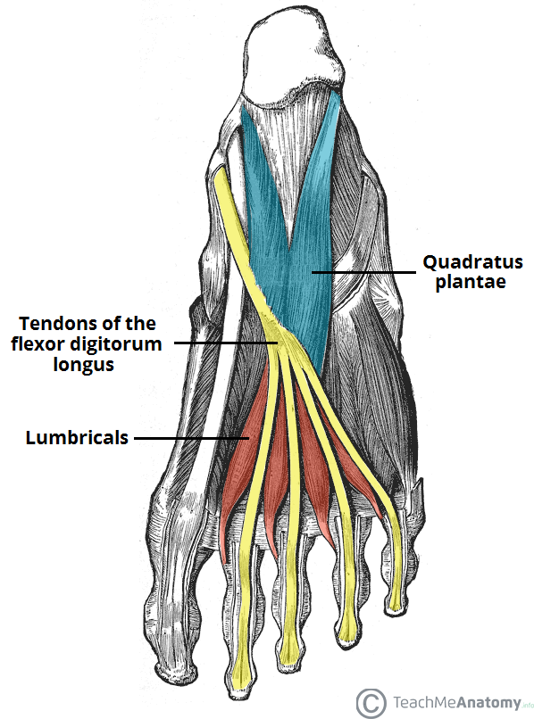 Heel pain anatomy