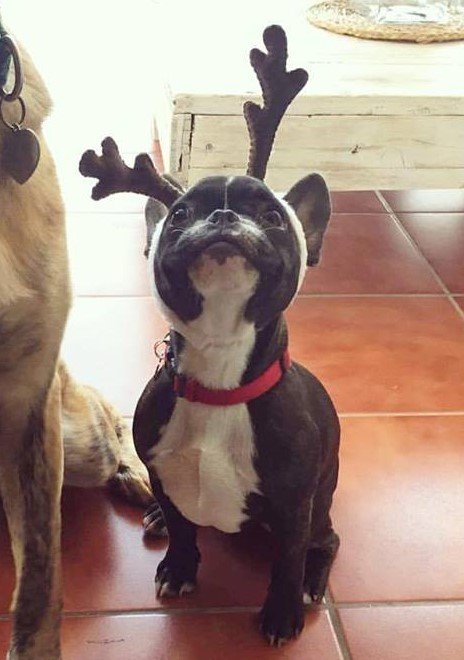 French Bulldog with Christmas antlers