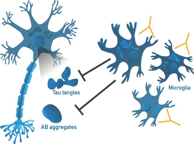 Alector's programs harness the body's innate immune cells, the microglia, to counteract multiple pathologies simultaneously.