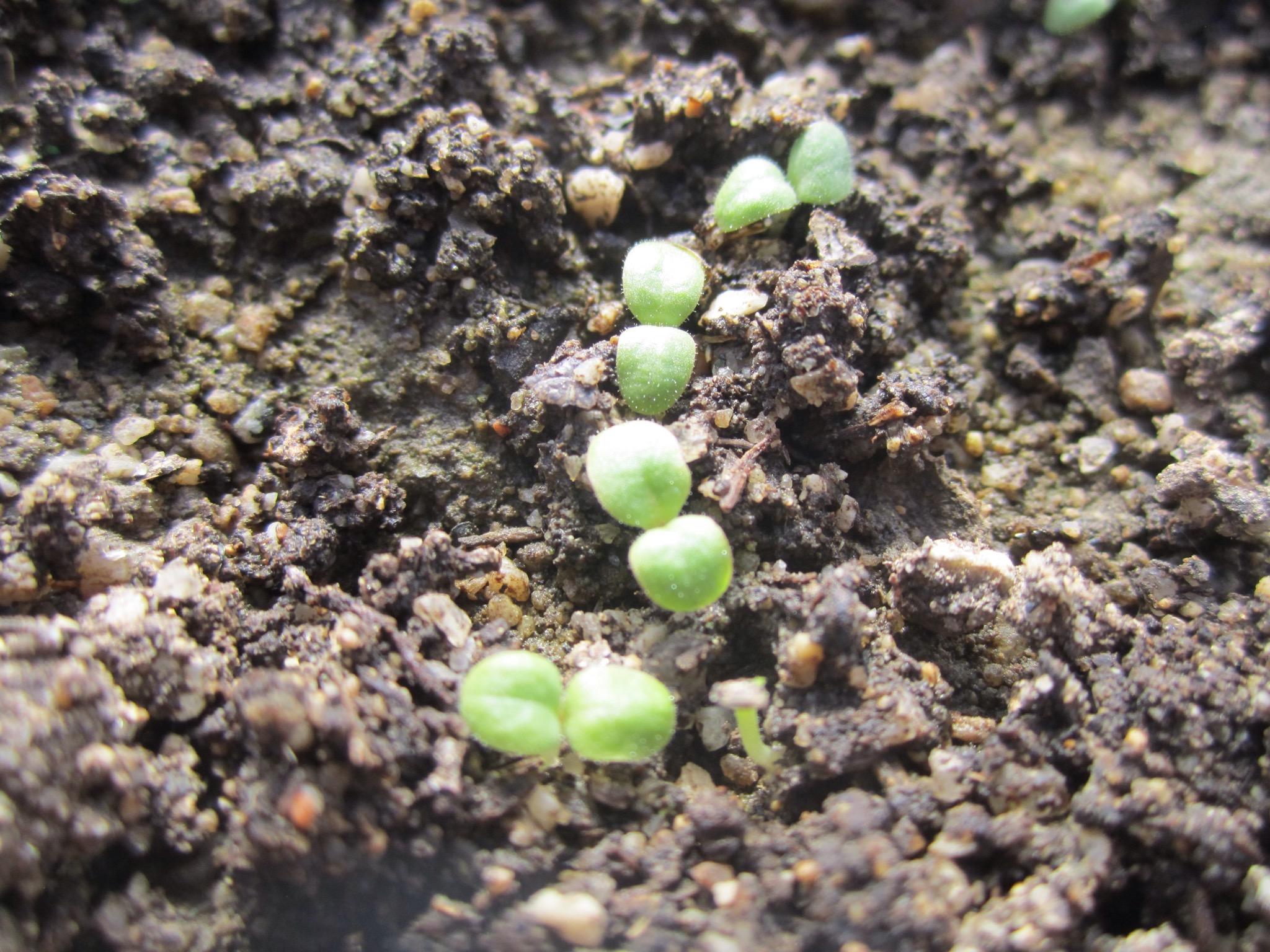 lettuce sprouts / germinados de lechuga