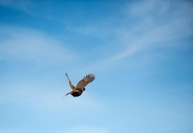 2013_pheasant9.jpg