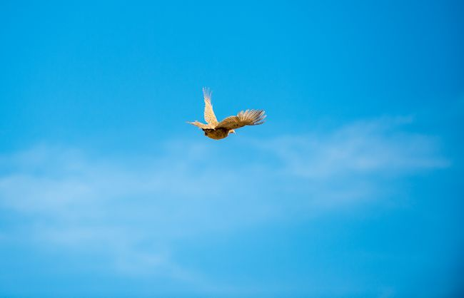 2013_pheasant10.jpg