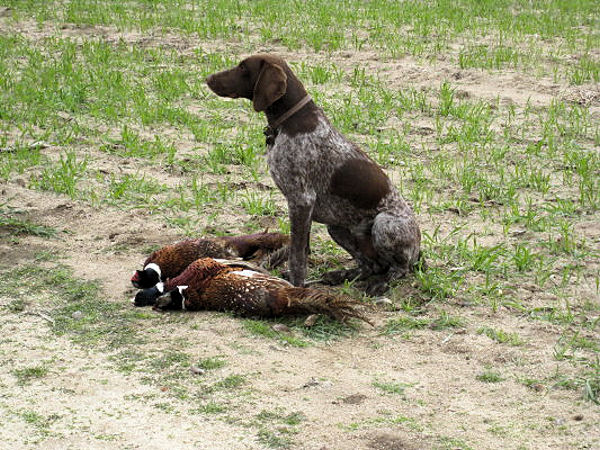 2010_pheasant9.jpg