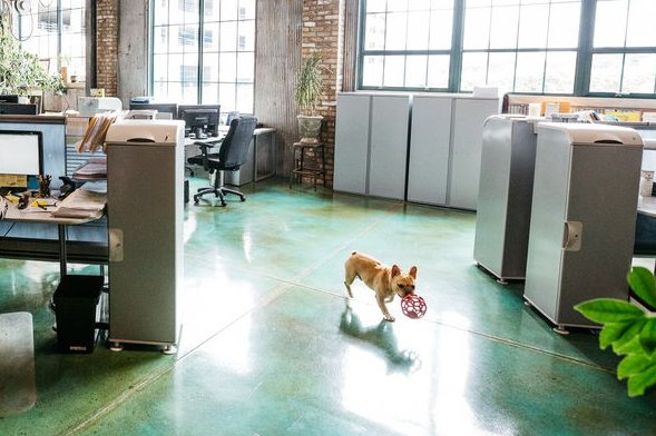 Here, the pet dog of one of our business owner customers roams contentedly with a play toy across the acid-stained concrete floor we installed in their office space. Not a worry in the world…