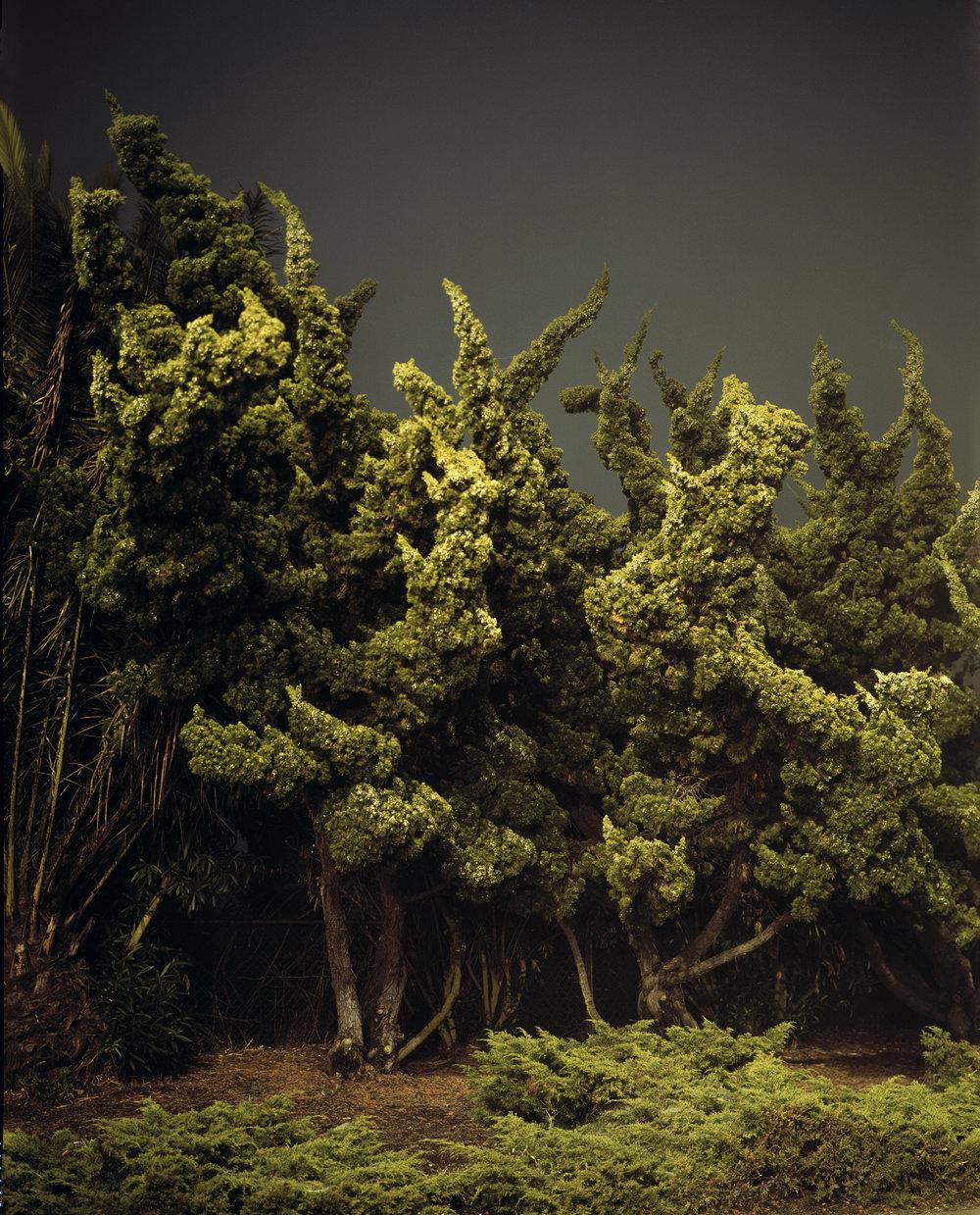 Cypress Trees, Marina Del Rey, CA.
