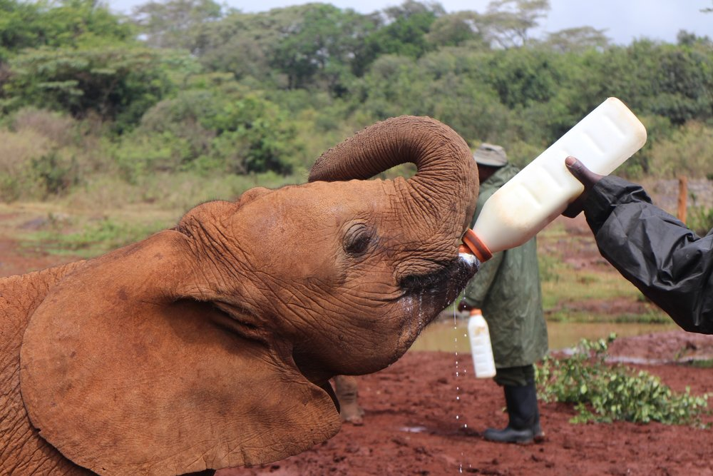If you foster an elephant orphan at  David Sheldrick , you can visit him or her in Kenya.