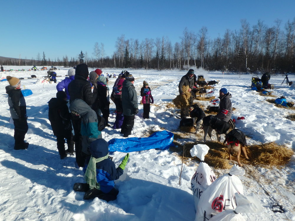 Minto School students with Iditarod Musher caring for dogs.