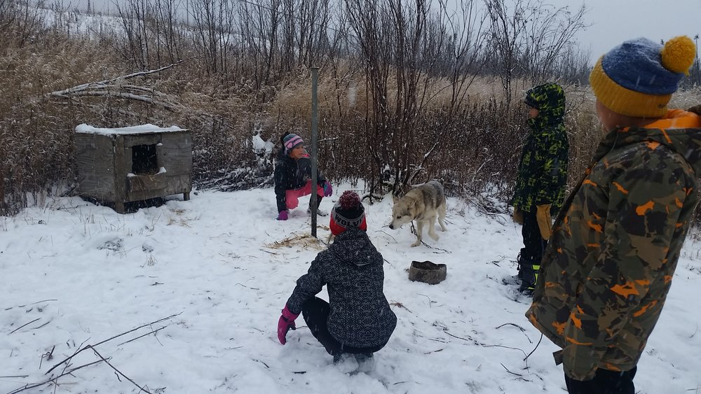 Students trying to make friends with a shy sled dog.