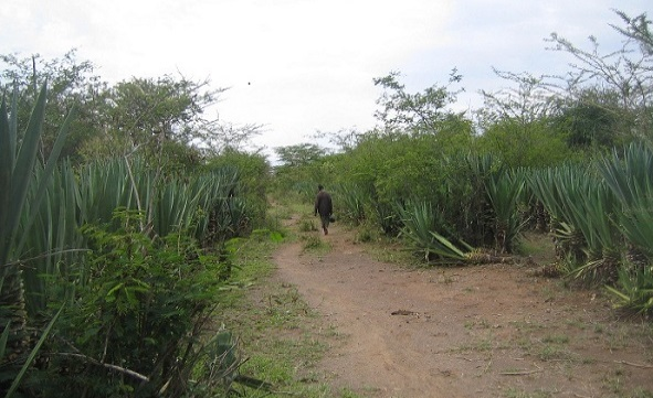 Figure 3: The security challenges of accessing the settlements within the Mogotio sisal plantations