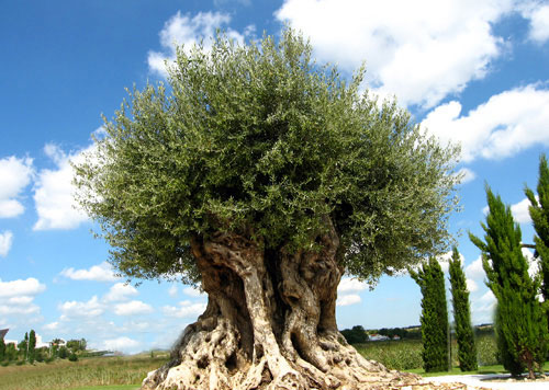 500 year tree.jpg