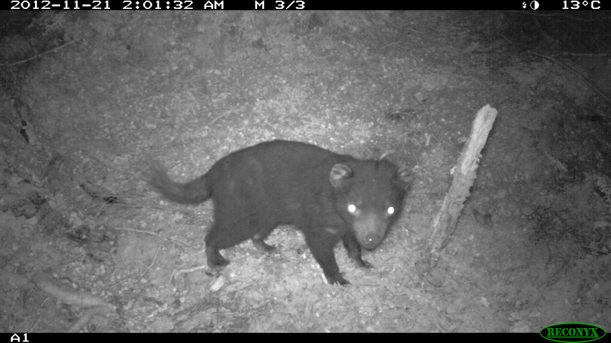 A healthy Tasmanian Devil in the Tarkine region.