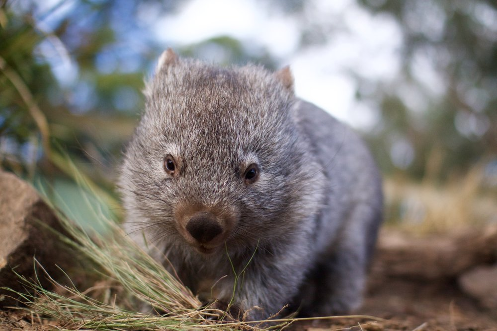 Wombat at Bonorong