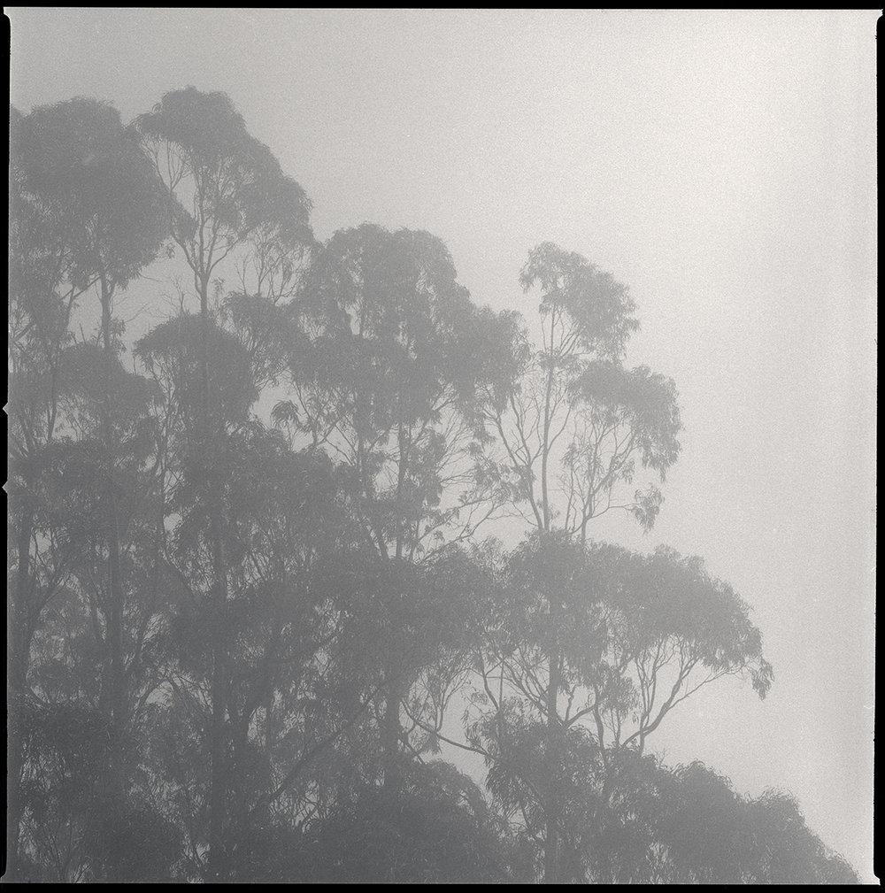 Eucalyptus Grove, Mt. Tam