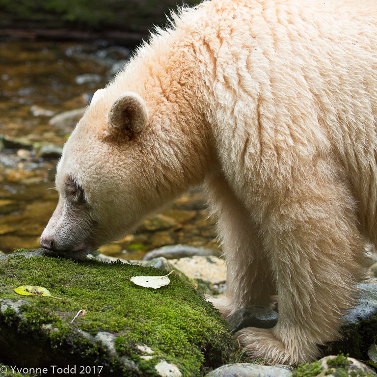 Spirit Bears-435.jpg