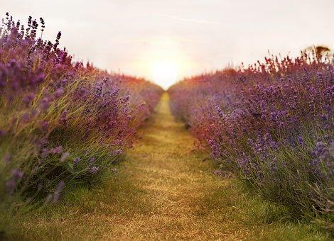 lavender-2706911__340.jpg