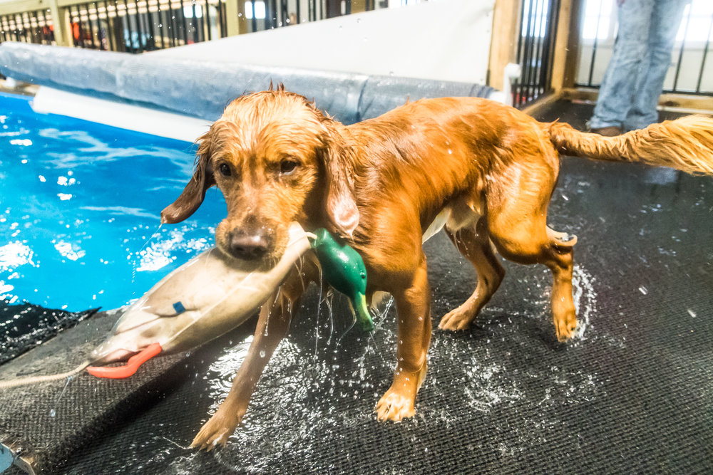 Gunner the golden retriever shows off the catch he made of his fake hunting duck as he practices retrieval techniques with his owners at Club Aqua Paws on Lathrop Ave in Downtown Racine Thursday afternoon.